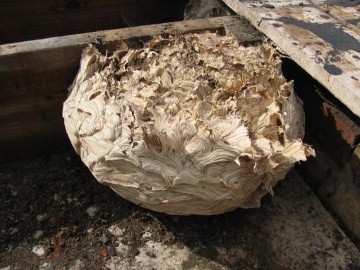 Dat was toch een uit de kluiten gewassen nest.  Gelukkig zaten er geen levende wespen meer in :-)