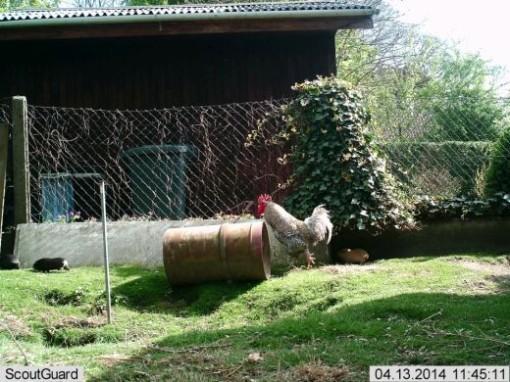 Een foto van de cavia's een week geleden.