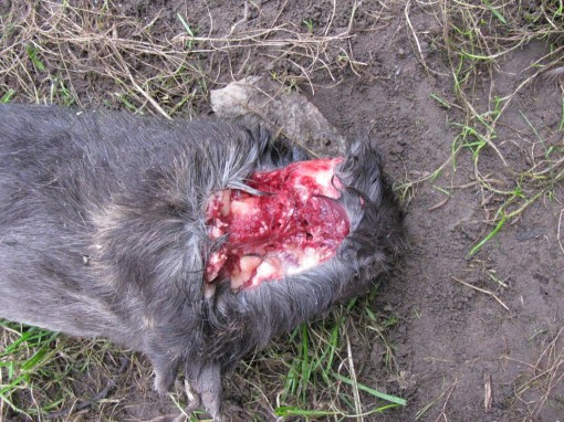Gans de nek is opengereten !