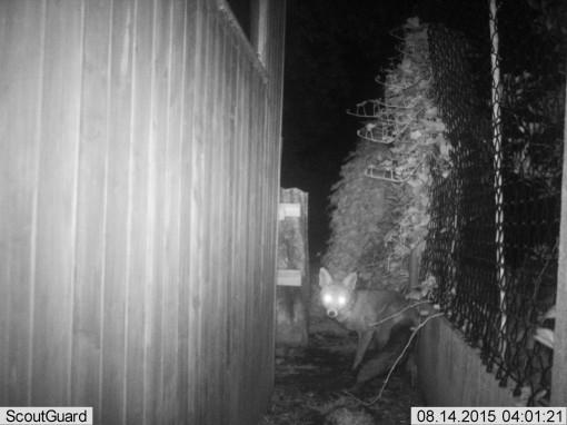 Als ik me niet vergis is dat een vos.  Veel kippen zullen er in de buurt niet meer overblijven binnenkort...