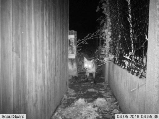 De vos komt nog eens kijken of mijn deurtje nog dicht is.
