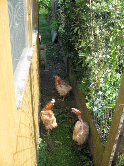 Ze blijven de eerste dag nog binnen de meter van de ingang van het kot, maar ze zijn al actief aan het pikken en scharten.