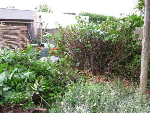 Ik heb een paar paplaulier hagen staan die eens drastisch moesten ingekort worden. Eerst de bovenste 2 meter afgeknipt.