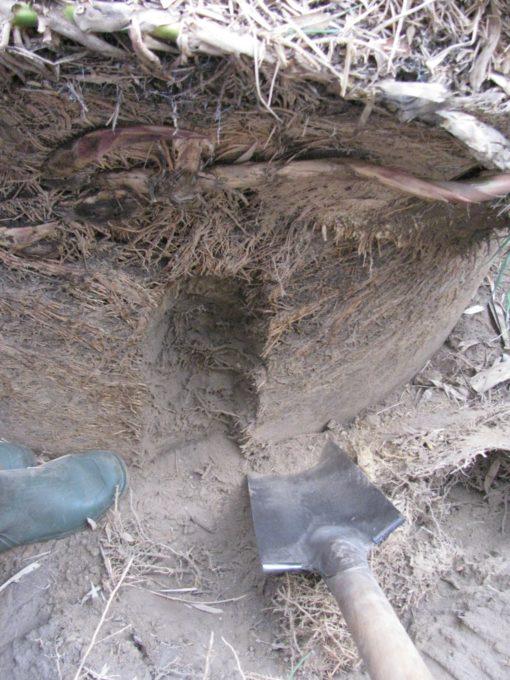Blijkbaar gaan die penwortels maar een 40-tal cm diep.  De rest zijn dunne wortels die vocht en voeding zoeken.
